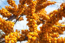 Free Sea-buckthorn Berries Royalty Free Stock Images - 6091689