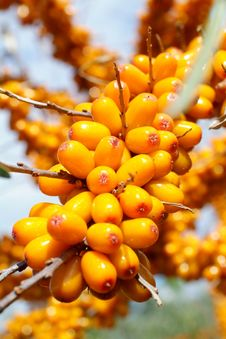 Free Sea-buckthorn Berries Stock Photo - 6091880