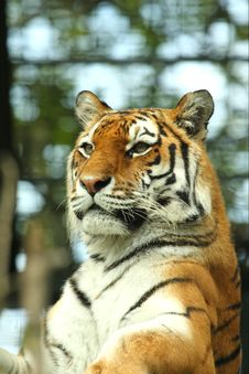 Free Tiger Stock Photo - 6092060