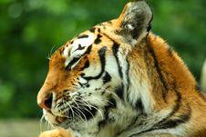 Free Tiger Stock Photos - 6092093