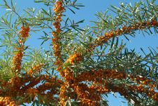 Free Sea-buckthorn Berries Royalty Free Stock Photos - 6092118