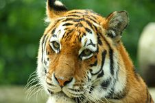 Free Tiger Royalty Free Stock Photography - 6092127