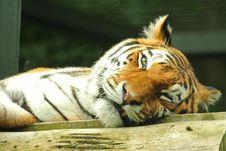 Free Tiger Stock Image - 6092141