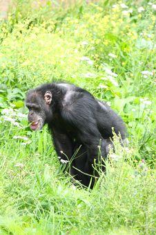 Free Chimp Royalty Free Stock Images - 6092149