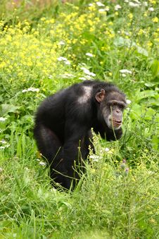 Free Chimp Royalty Free Stock Photography - 6092157