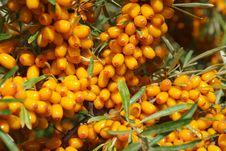 Free Sea-buckthorn Berries Royalty Free Stock Photo - 6092225