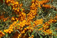 Free Sea-buckthorn Berries Royalty Free Stock Photography - 6092247