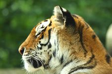 Free Tiger Royalty Free Stock Photography - 6092317