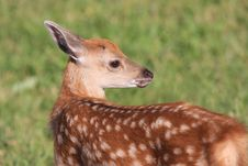 Bambi Royalty Free Stock Image