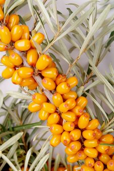 Free Sea-buckthorn Berries Royalty Free Stock Photos - 6092398