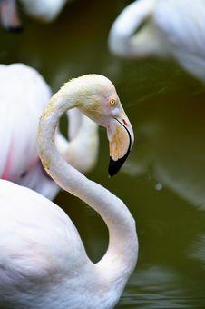 Flamingo Portrait 8 Stock Photography