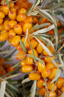 Free Sea-buckthorn Berries Stock Photo - 6092590