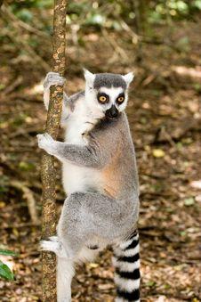 Free Madacascar Lemur Couple Stock Photography - 6092712