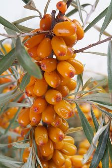 Free Sea-buckthorn Berries Royalty Free Stock Photography - 6092717
