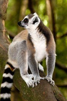Free Madacascar Lemur Stock Images - 6093154