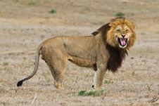 Free Unhappy Lion Stock Image - 6093271