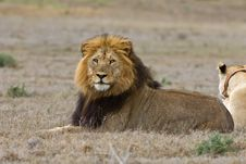 Free Majestic Male Lion Stock Images - 6093514