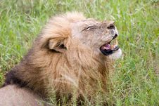 Free Lion Cry Royalty Free Stock Photography - 6093627