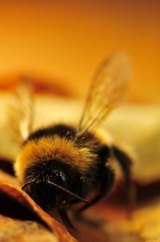 Free Bee Up Close II Royalty Free Stock Images - 6093679