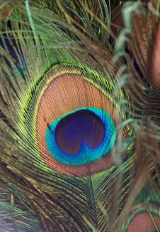 Colorful Peacock Feather Royalty Free Stock Photo