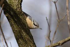 Free Nuthatch (Sitta Europaea) Stock Photo - 6093840