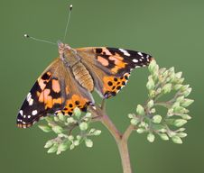 Painted Lady With Open Wings Royalty Free Stock Images