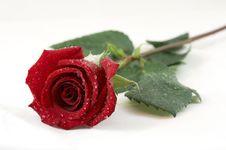 Free Rose Dew Royalty Free Stock Image - 6094526