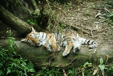 Free Tiger Cub Asleep Royalty Free Stock Images - 6094739