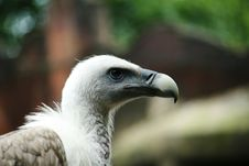 Vulture Close-up Stock Image