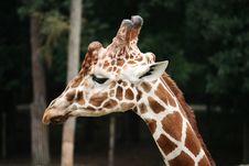 Giraffe Close-up Royalty Free Stock Image