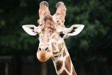 Giraffe Close-up Stock Photography