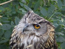 Free Eagle-owl Stock Images - 6095004
