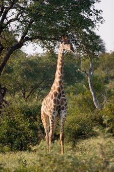 Free Giraffe Guard Royalty Free Stock Images - 6095029