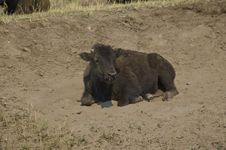 Free Baby Buffalo Royalty Free Stock Photos - 6095318