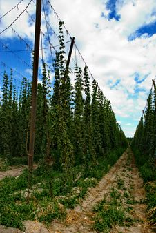 Free Hops Farm 4 Stock Photography - 6095352