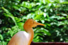 Free Cattle Egret Royalty Free Stock Photography - 6095457