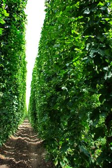 Free Hops Farm 8 Stock Photos - 6095463