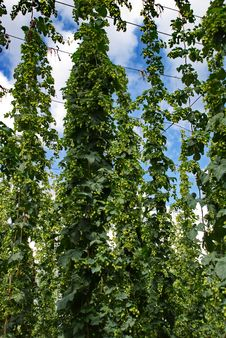 Free Hops Farm 10 Stock Photo - 6095550