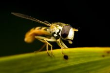 Free Hoverfly Sticking Tongue Out Stock Image - 6095581