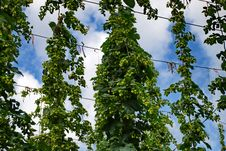 Free Hops Farm 11 Royalty Free Stock Image - 6095676