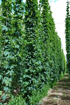 Free Hops Farm 12 Stock Photo - 6095680