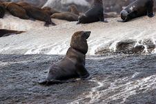 Seal Island Stock Image