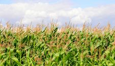 Free Crops Stock Images - 6095804