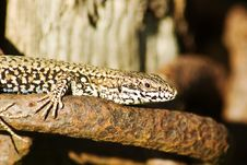 Free Basking Lizard In Close Up Stock Photo - 6096170
