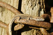 Free Basking Lizard On A Chain Royalty Free Stock Photo - 6096205