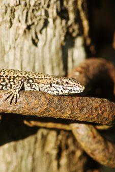 Free Basking Lizard Stock Image - 6096231