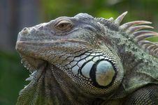 Free Iguana Portrait Stock Photo - 6096340