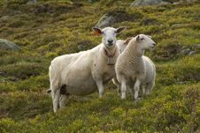 Free Nordic Sheep Stock Photo - 6096700