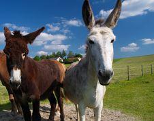 Free Donkey On A Farm Royalty Free Stock Photography - 6096787
