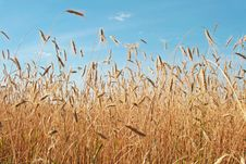 Free Wheat Field. Royalty Free Stock Photos - 6096978